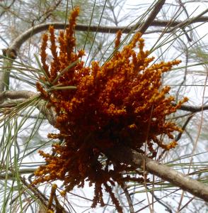 Pine Mistletoe.