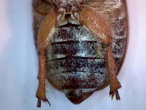 Ten-lined June Beetle. Collected by Jason Price, LaGrange Ca. 29 October 2015.