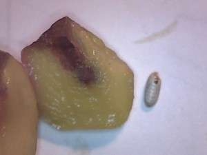 image of the olive fruit fly pupa and the damage to the interior of the olive.