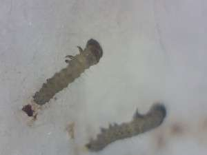 Gregarious, 1st instar larvae, on a bathroom ceiling. Murphys area, Calaveras County, California. Image by Paul Cooper. 9 Feb 2016