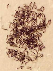 Gregarious, 1st instar larvae
