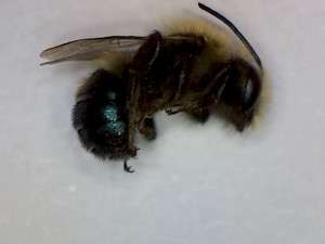 Burrowing bee, genus Andrena. These bees were overwintering in a home in Valley Springs, Calaveras County, California.