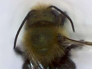 Burrowing bee, genus Andrena. Closeup of thorax with the dense hairs.