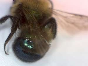 Burrowing bee, genus Andrena. Closeup of the metallic abdomen.