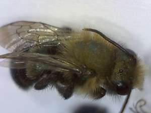 Burrowing bee, genus Andrena.