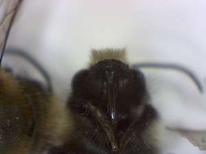 Burrowing bee, genus Andrena. head.