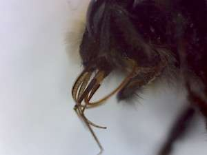 Burrowing bee, genus Andrena. Mouthparts.
