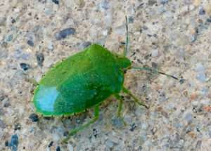 Green stink bug, Murphys Ca, 18 April 2016. Photo by Paul Cooper.