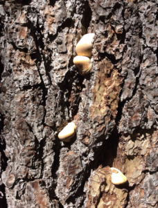 pine tree fungus 1