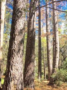 pine tree fungus 5