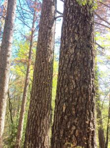 pine tree fungus 6