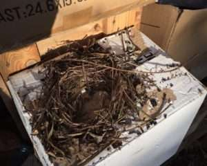 Probable roof Rat nest under a tarp. Sonora California. 21 April 2016.