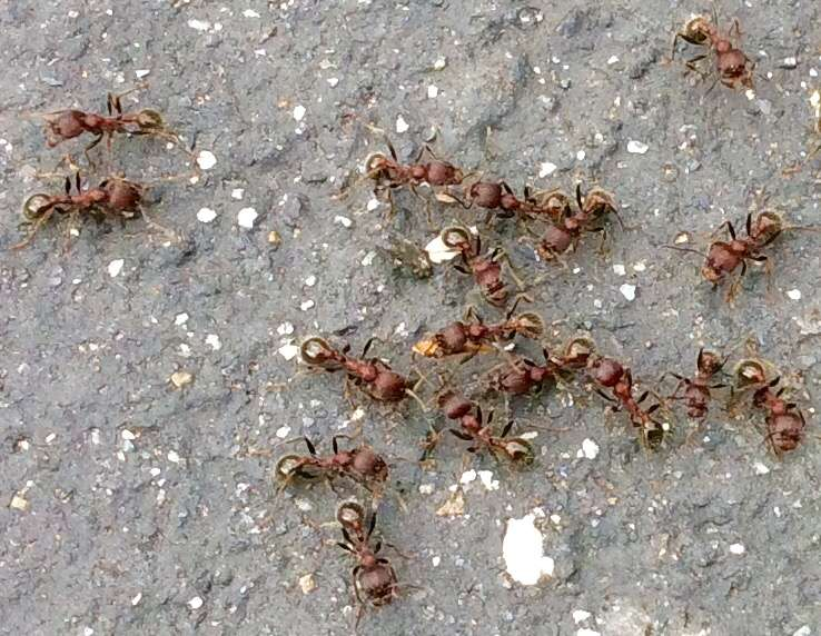 Harvestor ants, Vallecito Ca. Nest about 8 feet across. 20 May 2016. Photo by Paul Cooper.