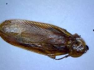 Western Wood Cockroach