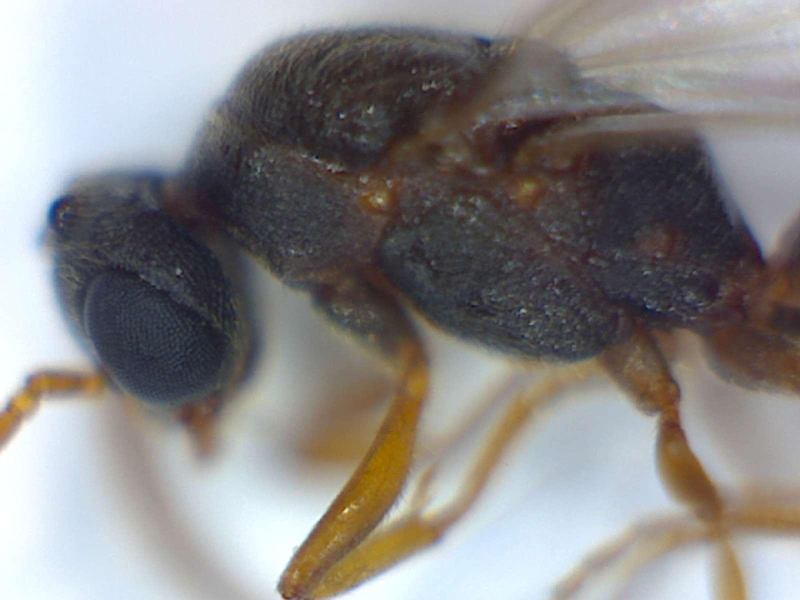Male Amblyopone ant