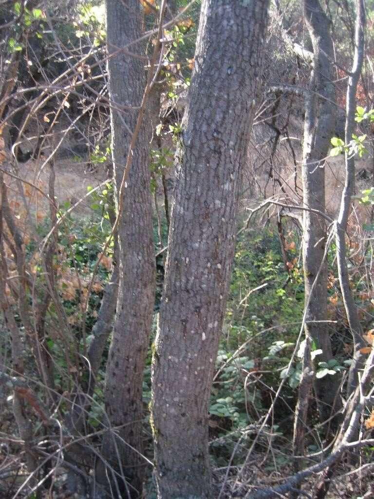 Foamy bark canker on some new trees near the original find. 28 September 2016.