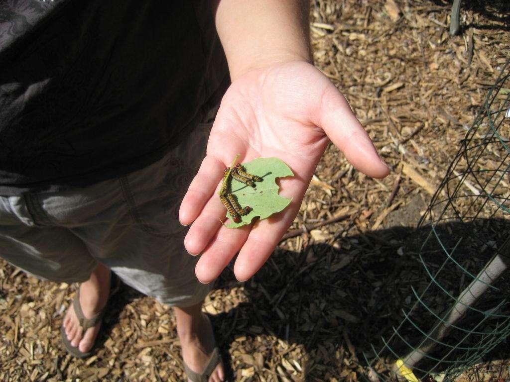 Redhumped Caterpillars on Eastern Redbud