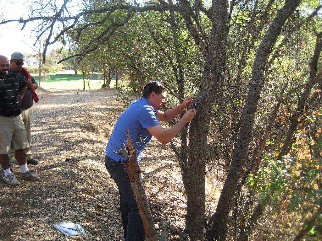 Scott Oneto taking samples from live oak.