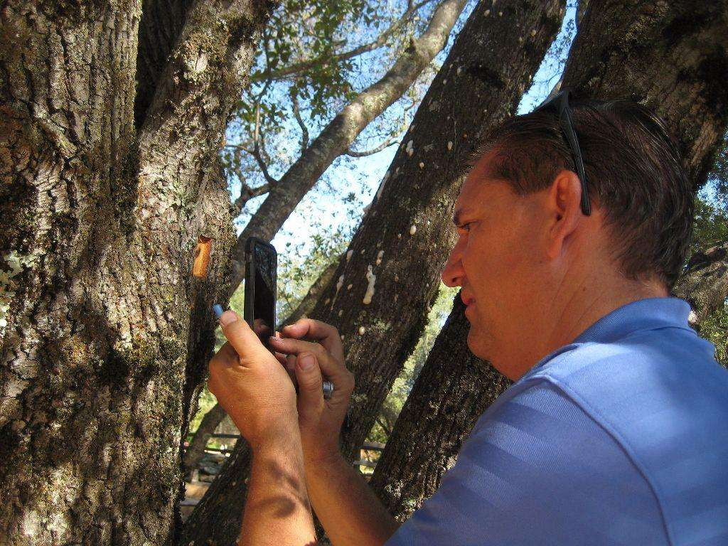 Scott Oneto used a hammer and chisel to remove a small square of bark to reveal the beetle tunnel.