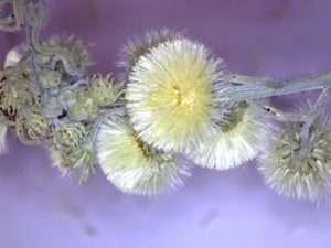 Hairy fleabane (Conyza bonariensis)