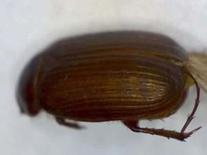 Serica perigonia (AKA small June beetles)