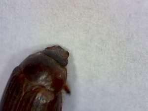 Serica perigonia (AKA small June beetles)