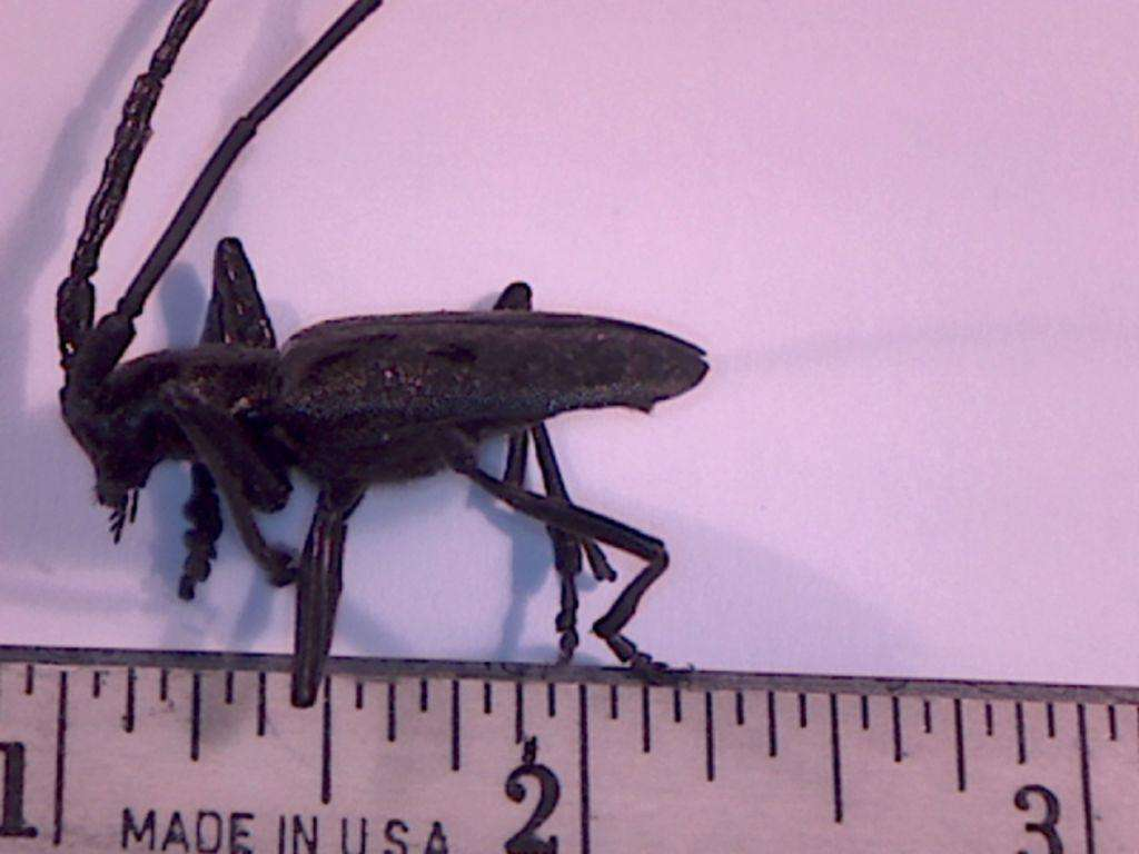 Spiny wood borer, or Pine Sawyer, Specimen collected by Garrett Simpson, 12 September 2016. Arnold area.