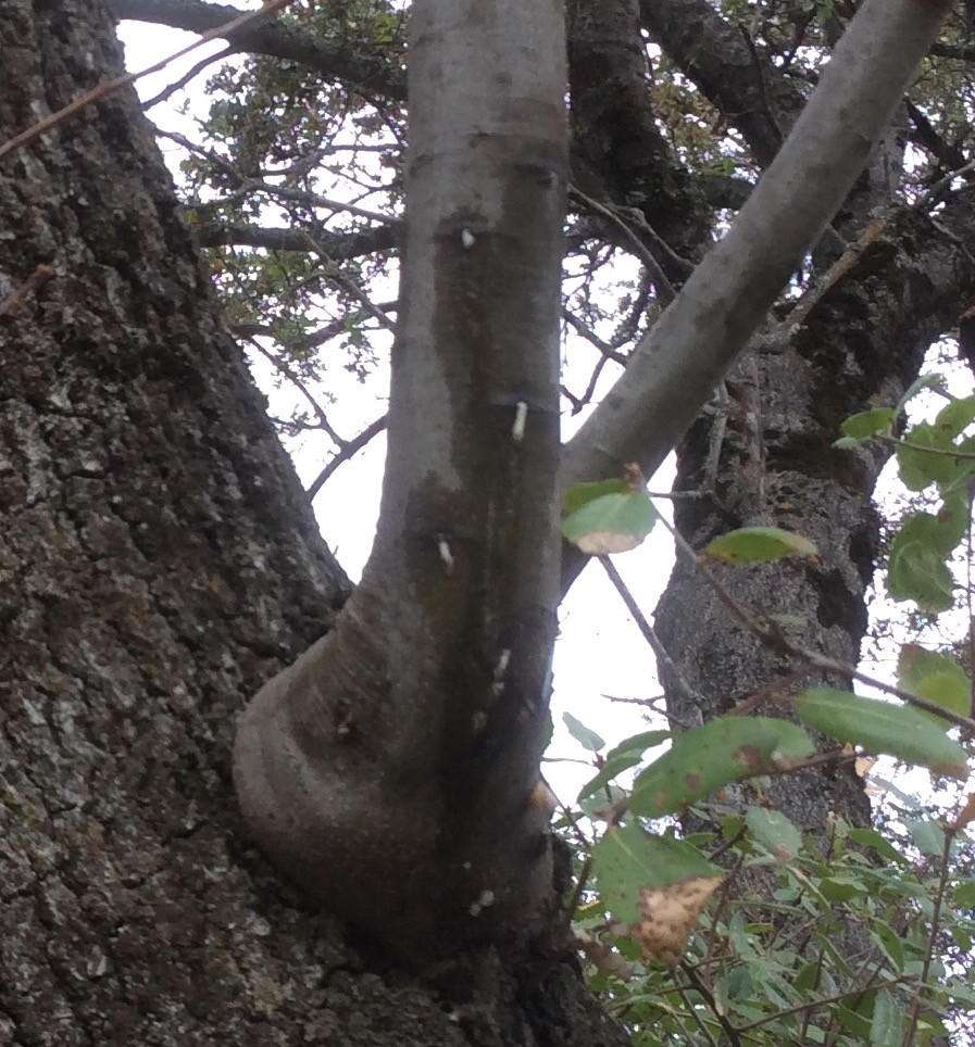 Foamy cankers are apparent higher up, on thinner barked branches, but not found on the lower trunk. 25 October 2016. Photo by Paul Cooper.