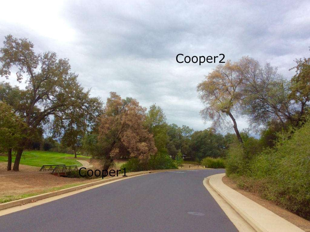 """""""Cooper1"""", on left was the """"Golf Course"""" tree that was sampled for foamy bark canker in September. Now, we have """"Cooper2"""", dying, across the street from Cooper1. This decline appears to have occurred within a month."""