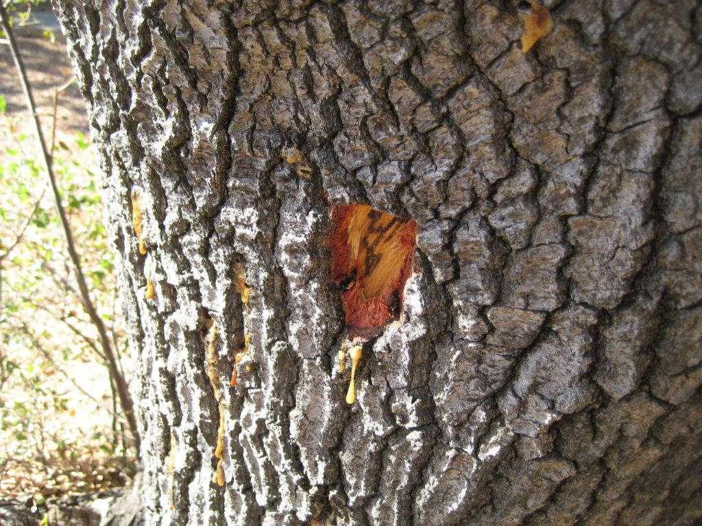 Inside the dying live oak.