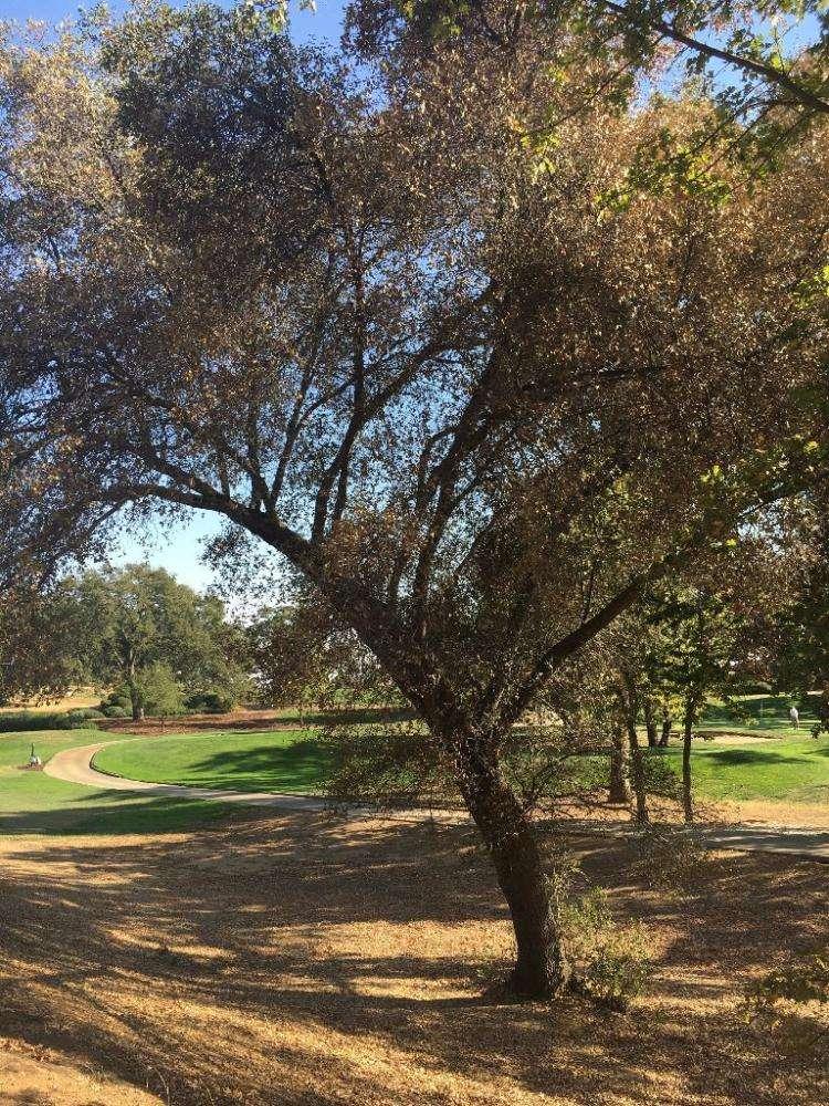 The dying oak, 28 September 2016. Photo by Scott Oneto.