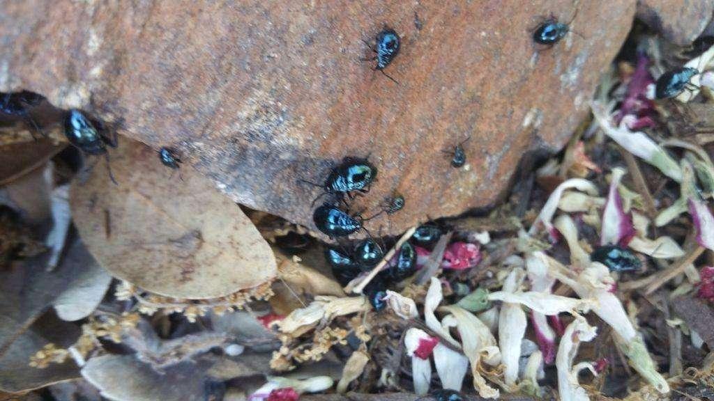 Bordered Plant Bug nymphs
