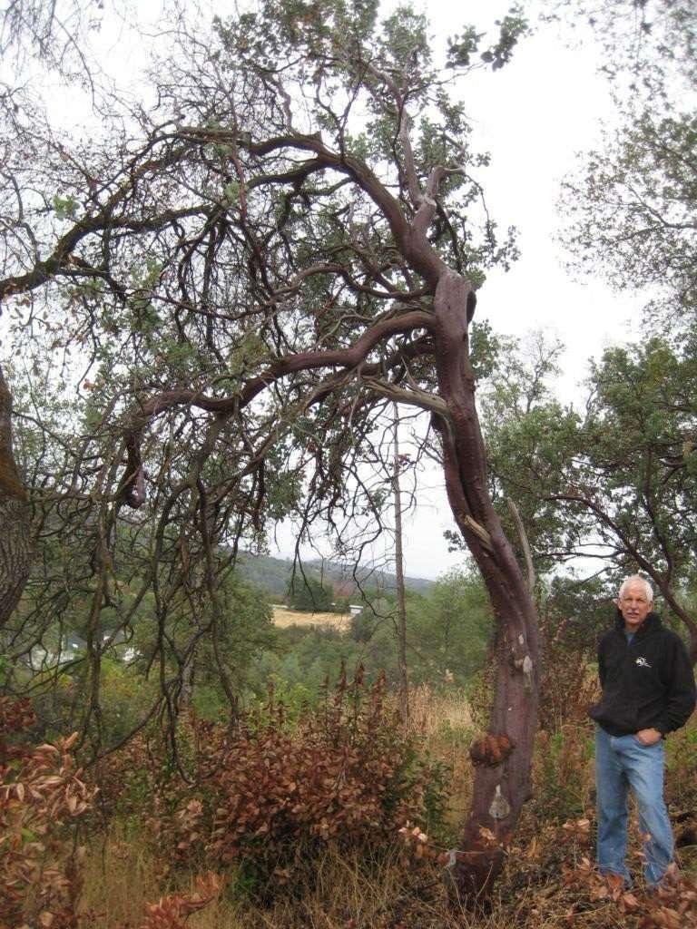 a big manzanita tree