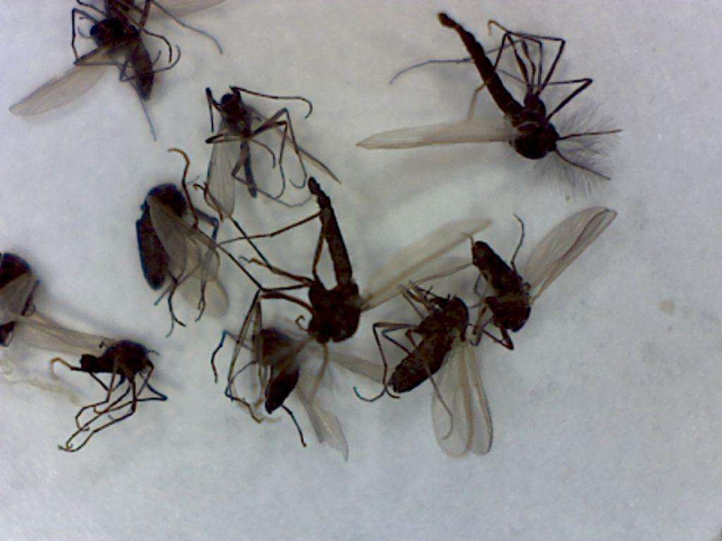 Dark-winged fungus gnats.