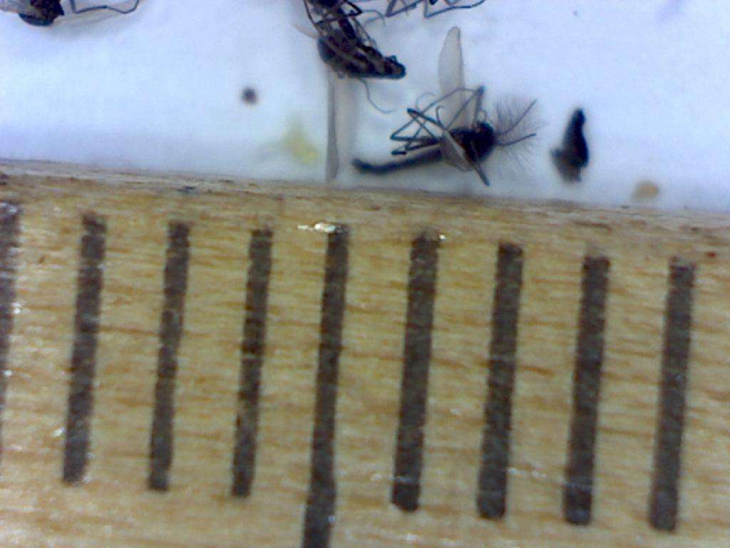 These dark-winged fungus gnats are about 2 millimeters long.