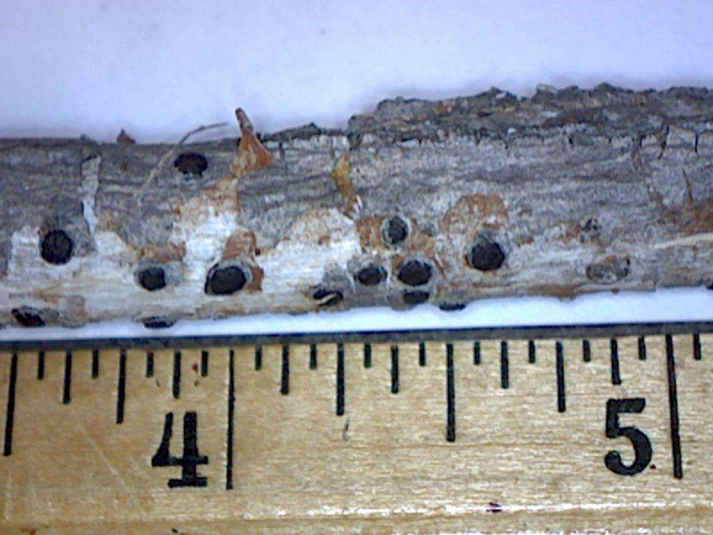 A small buckeye branch next to a ruler to show the size of Eutypella aesculina