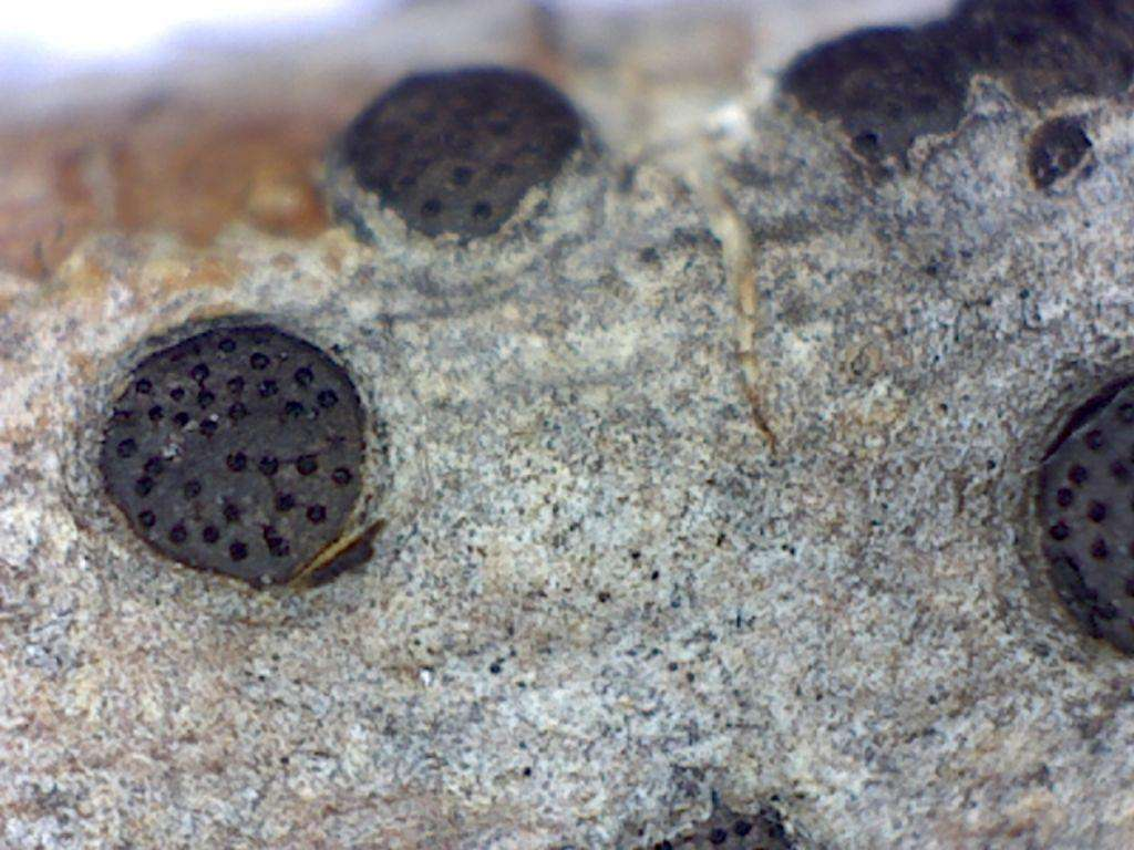 Close-up of the fungus Eutypella aesculina.