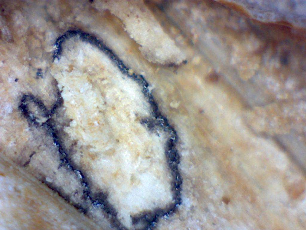 Fourth in the series, is a close-up of the underlying branch, the black line being the outer limit of the protrusion.