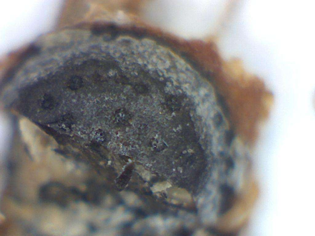 Sixth, shows a close-up of the interior of Eutypella aesculina. It is hollow.
