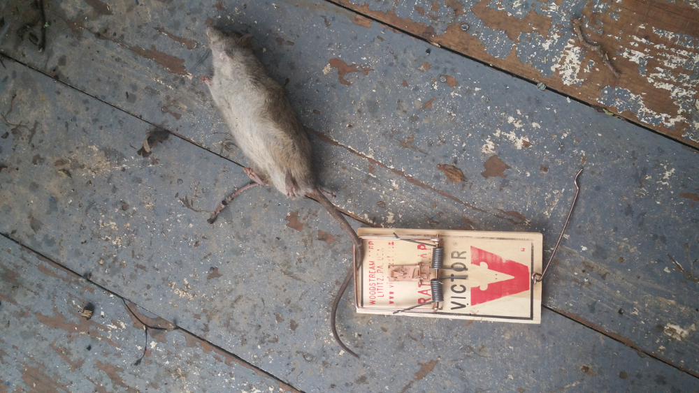 This rat was caught by the tail, but must have suffered a severe head impact from the trap's hammer, causing the kill.