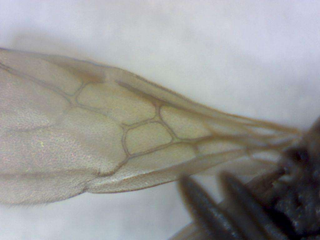 forewing of male Tapinoma sessile