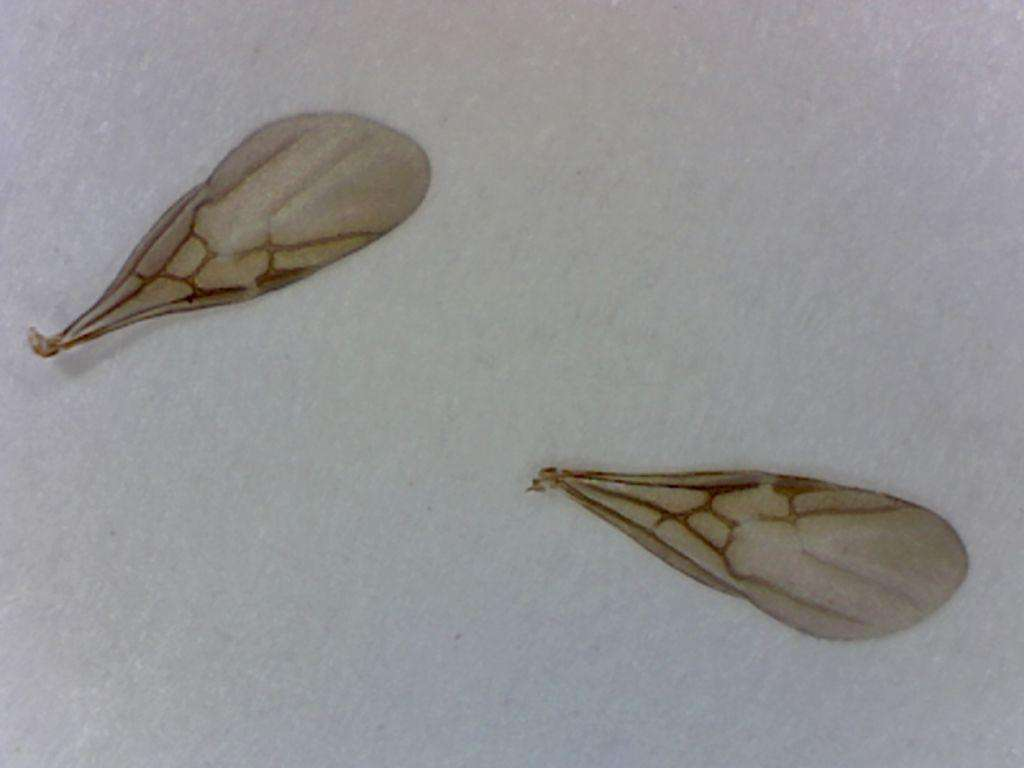 forewings of male Tapinoma sessile