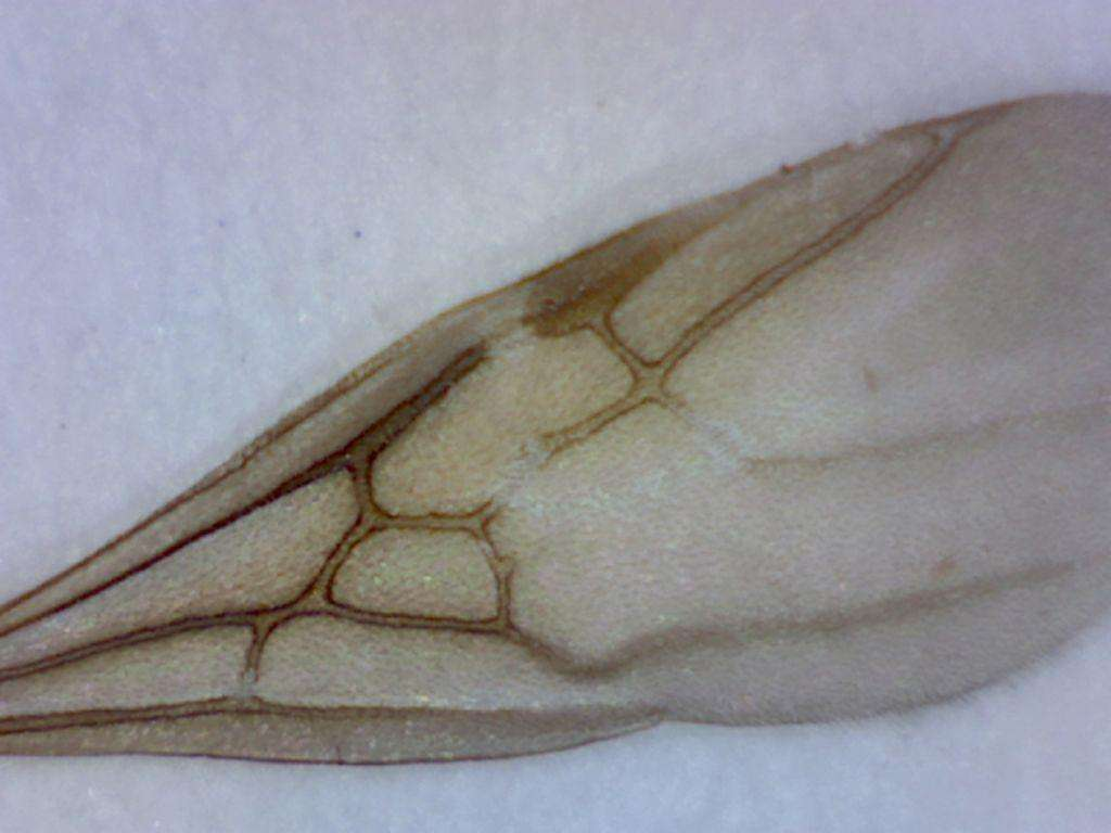 detail of forewing of Tapinoma sessile