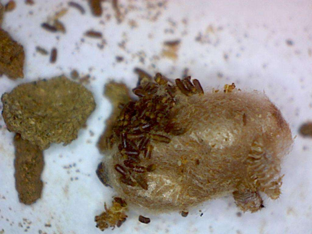 pupa with what we think are larval frass attached