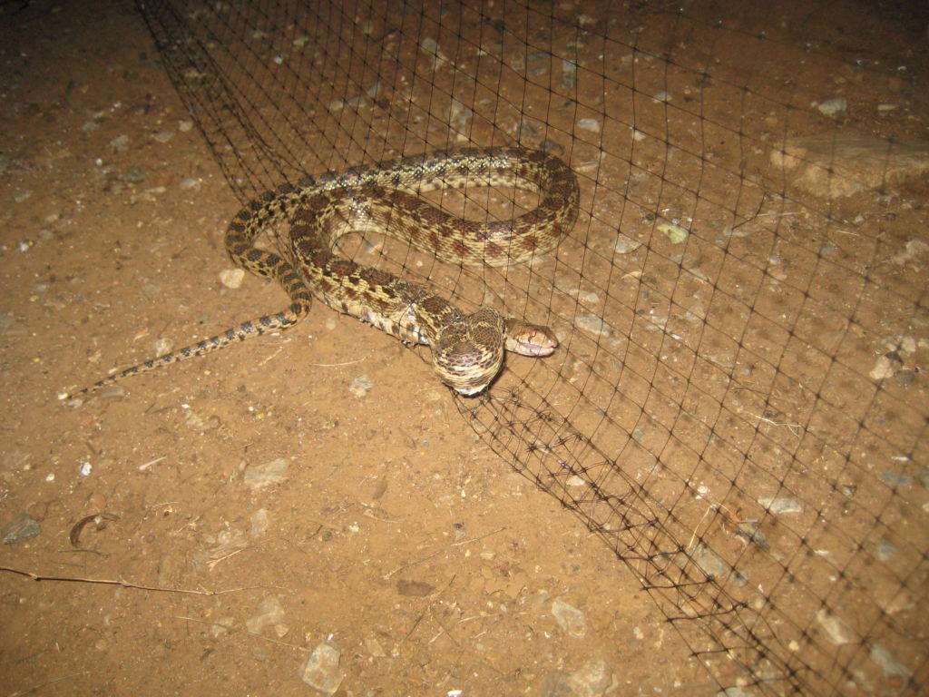Pacific gopher snake caught in bird netting.