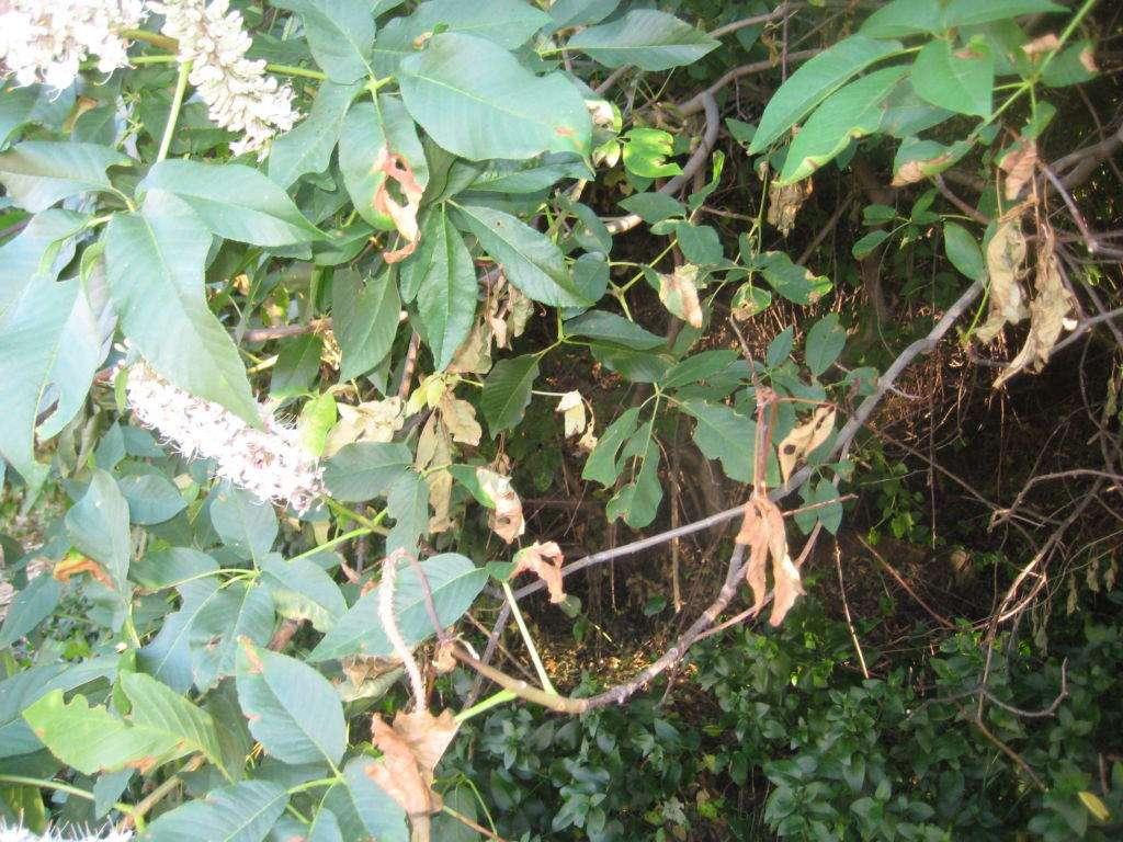 Leaf dieback
