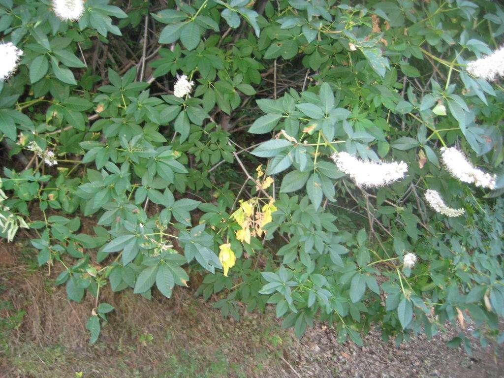 buckeye leaf dieback