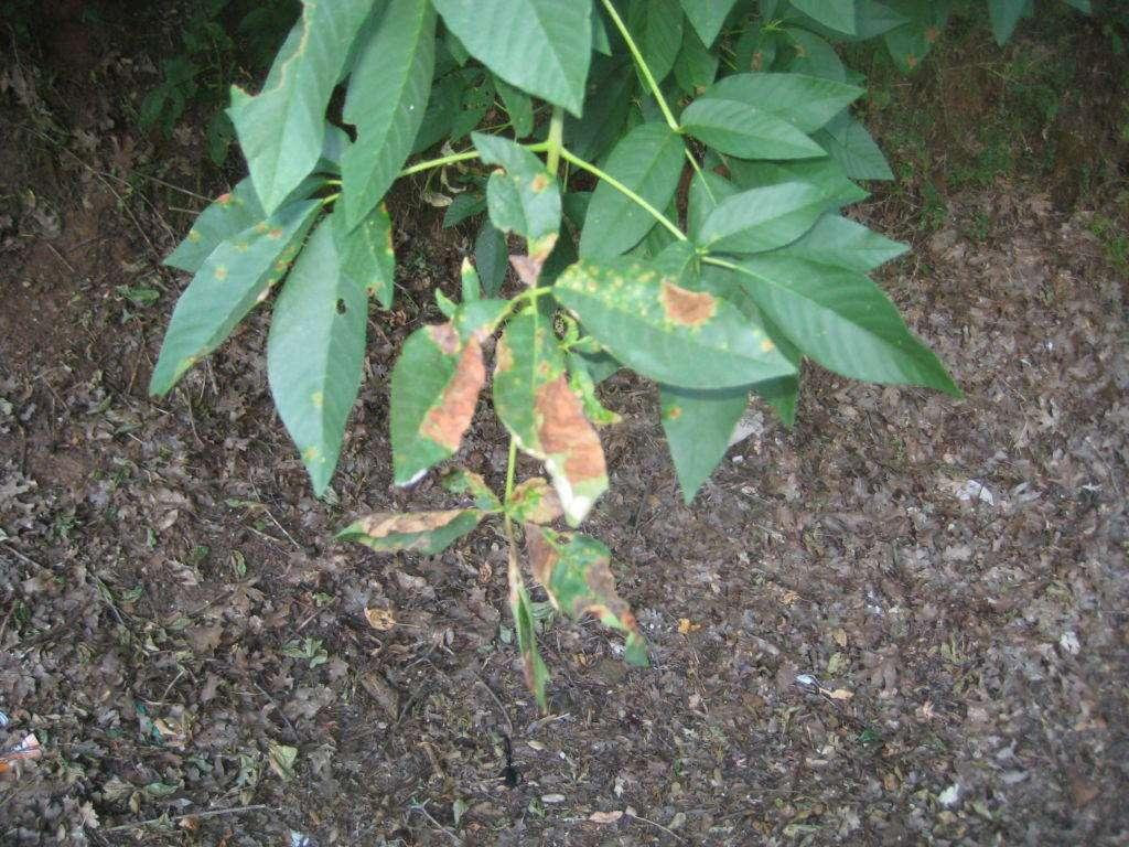 leaf spot