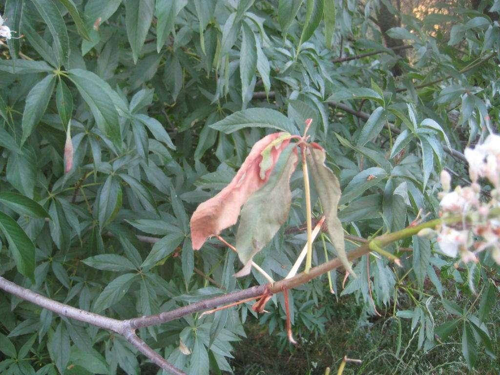 detail of leaf dieback