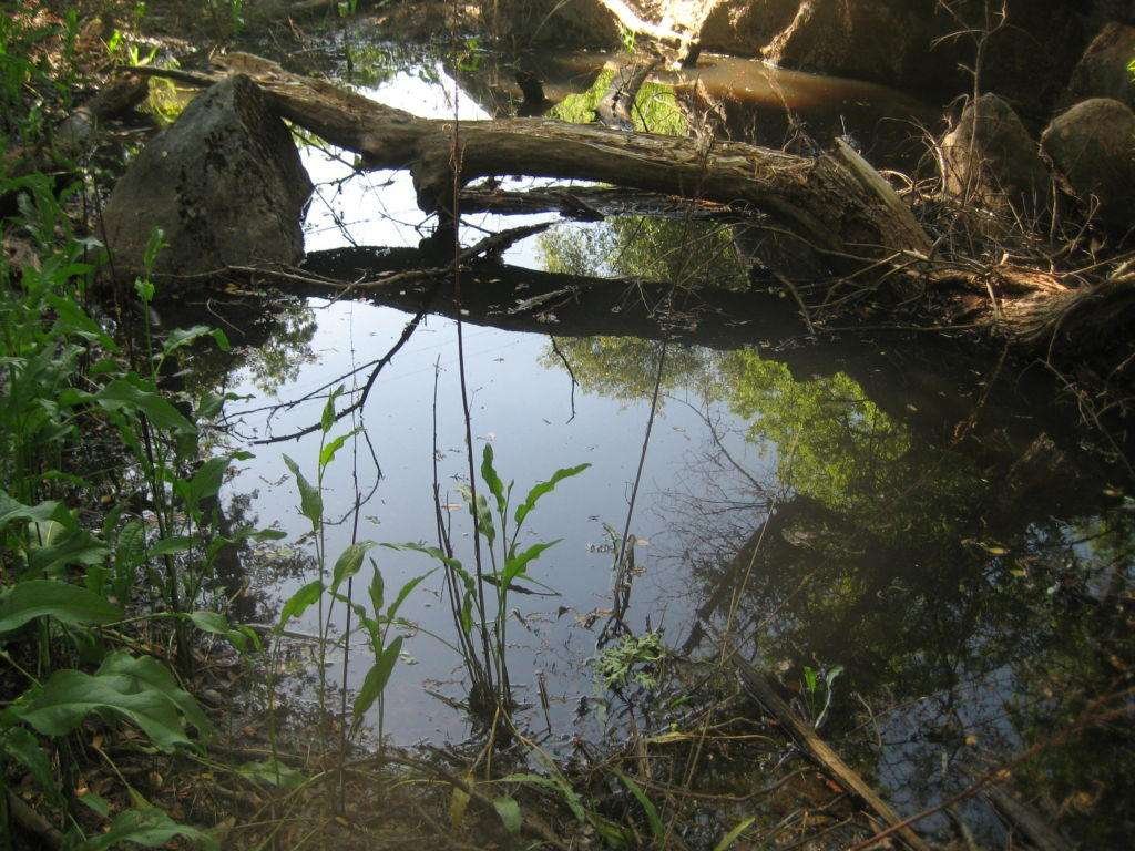 Vernal pool (probably remains of hydraulic mining) loaded with larvae of floodwater mosquitoes. 11 May 2017.